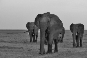 Elephants are Coming -bw