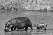 Hippo+baby