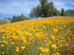 Kings Canyon Poppies