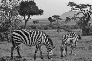 Zebras bw